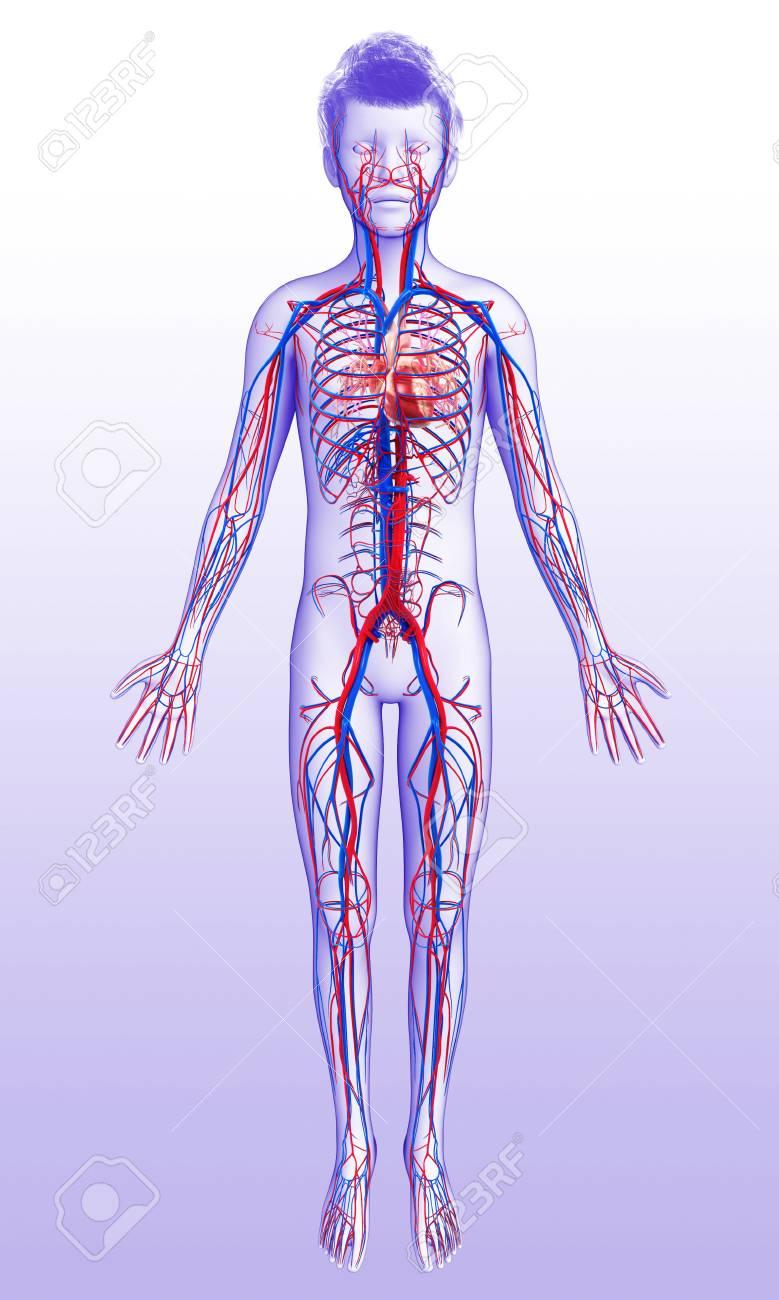 Sistema Cardiovascular Humano, Ilustración Fotos, Retratos, Imágenes ...
