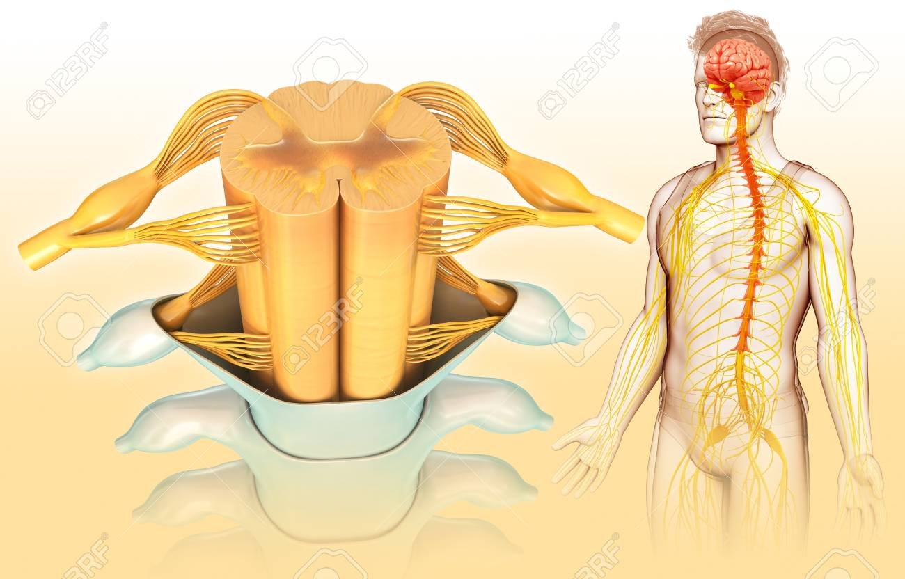 Human Spinal Cord Illustration Stock Photo Picture And Royalty