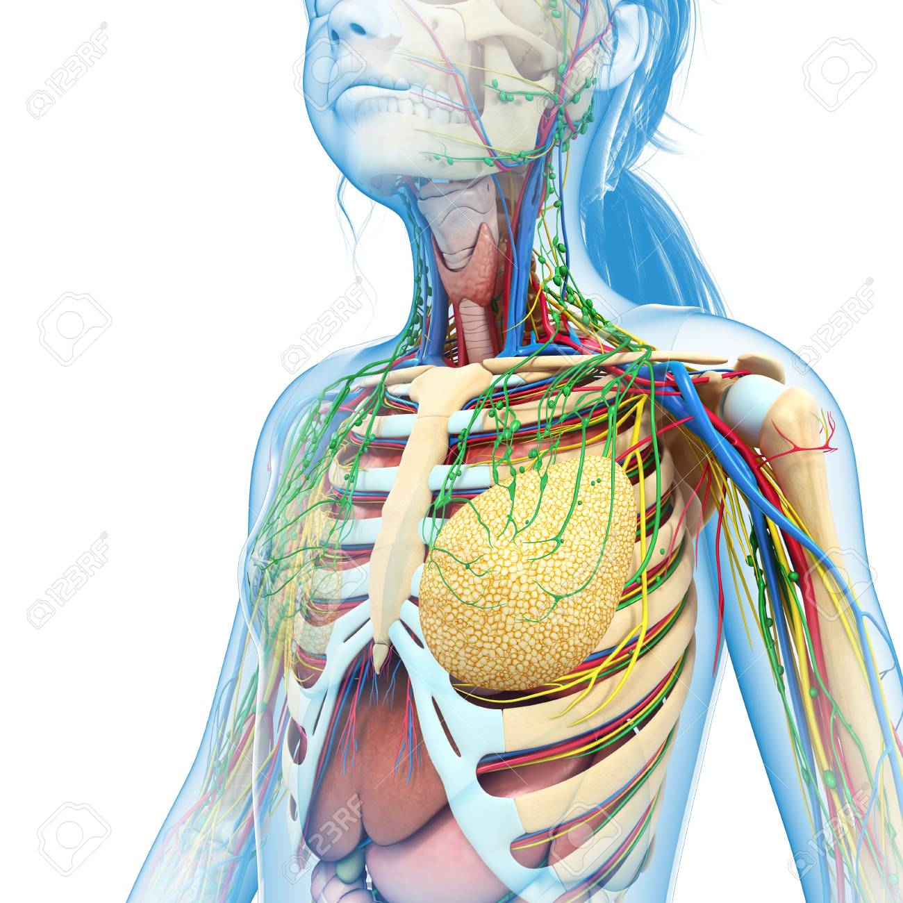 Teenage Girl Chest Anatomy, Illustration Stock Photo, Picture And ...