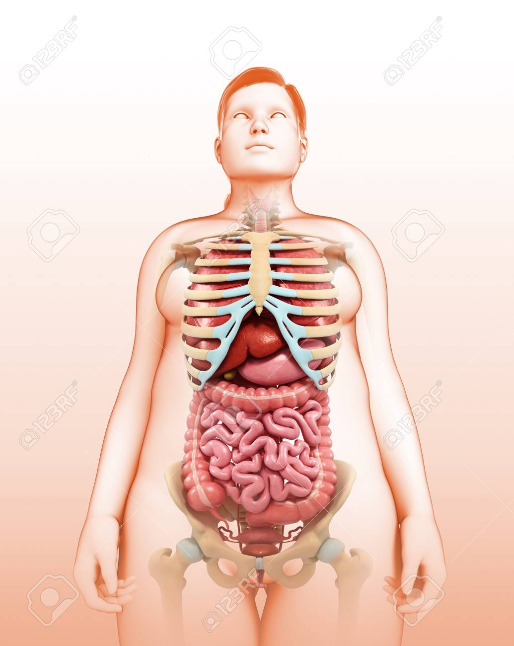 Human Internal Organs Illustration Stock Photo Picture And Royalty