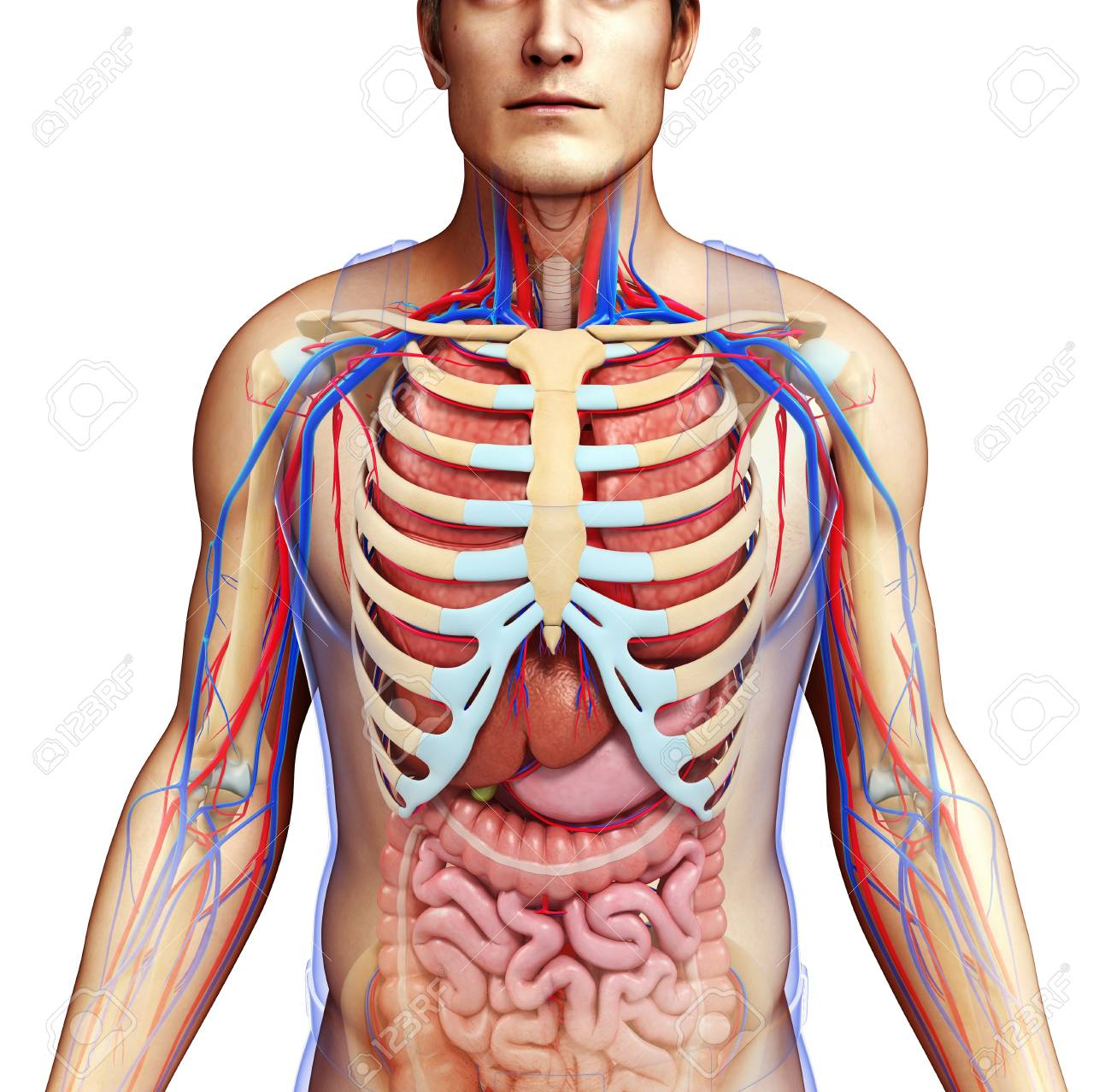 Human Chest Anatomy Illustration Stock Photo Picture And Royalty