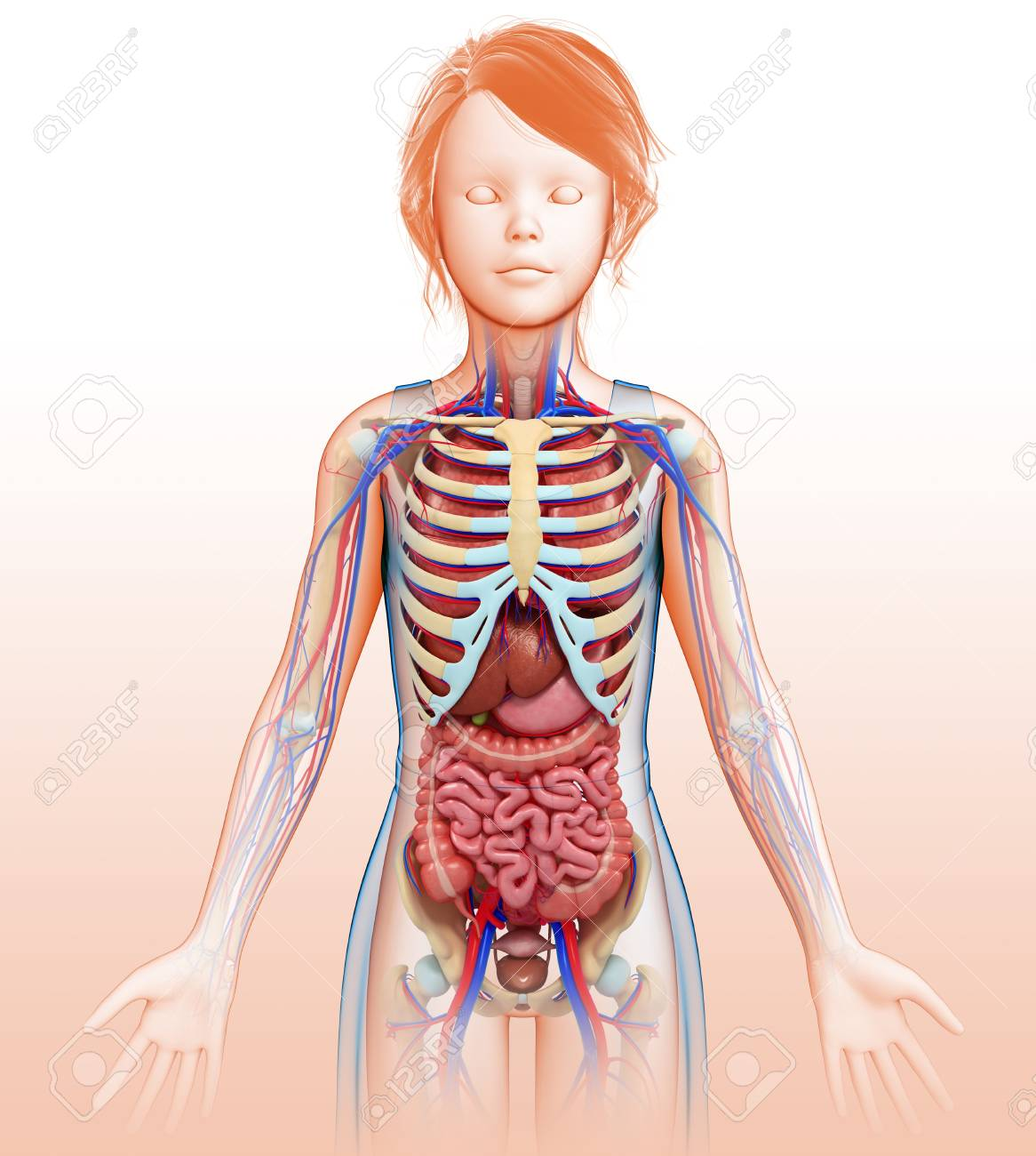 Female Anatomy, Illustration Stock Photo, Picture And Royalty Free ...