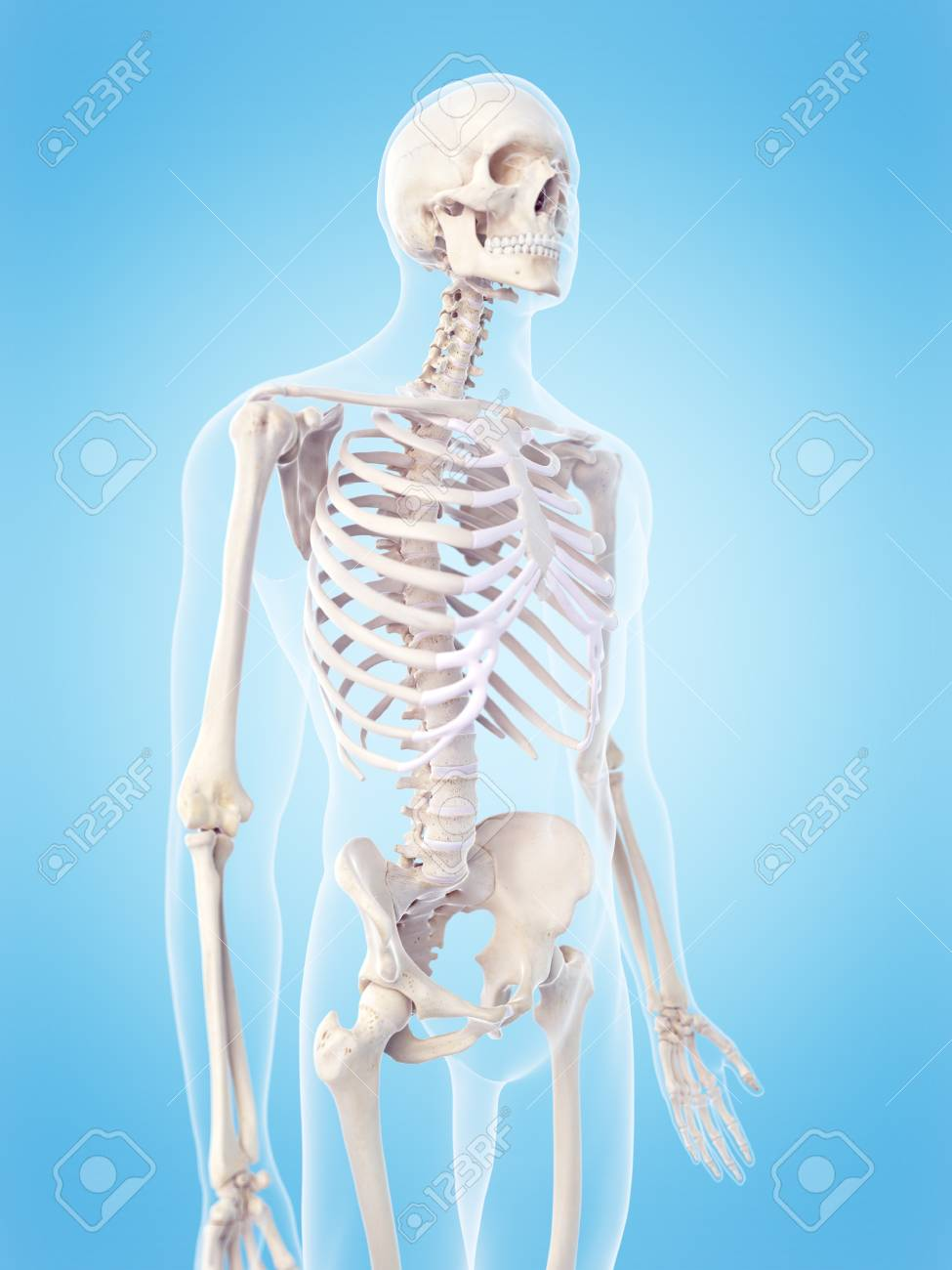 Human Skeletal Structure Illustration Stock Photo Picture And