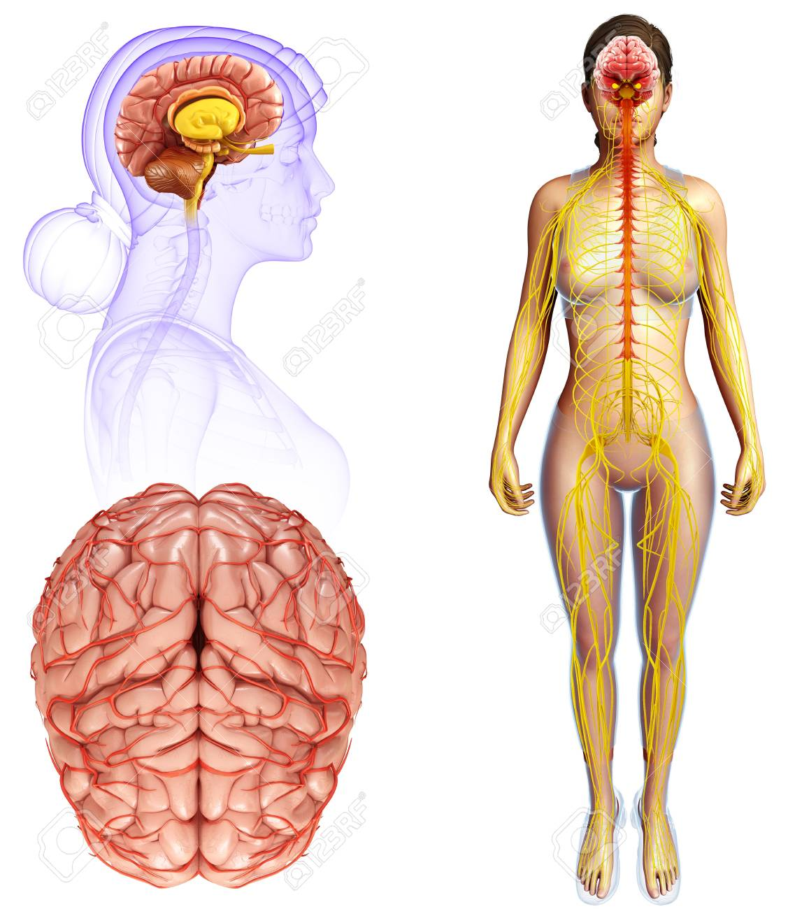 Human Brain Anatomy, Illustration Lizenzfreie Fotos, Bilder Und ...