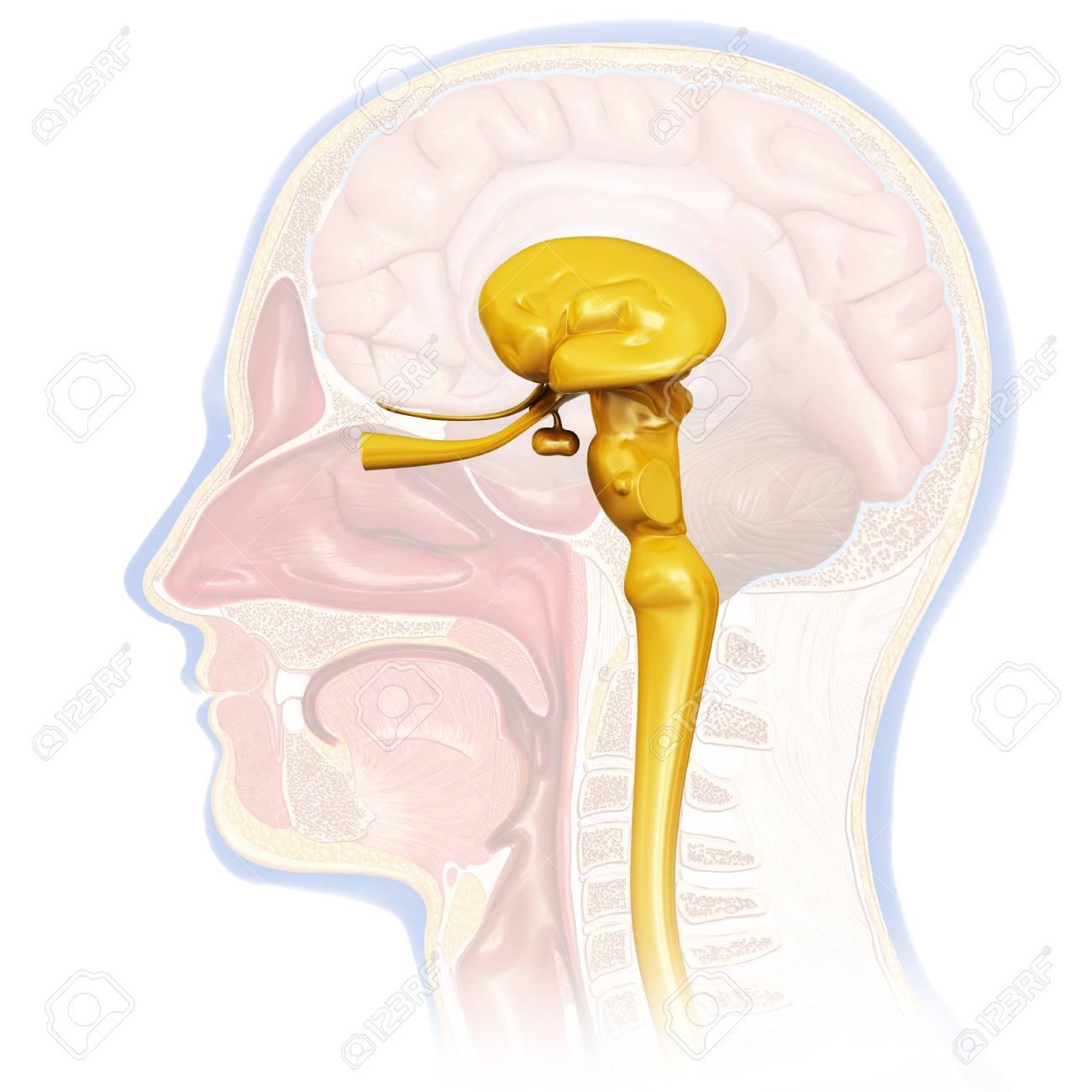 Human Midbrain Anatomy, Illustration Stock Photo, Picture And ...