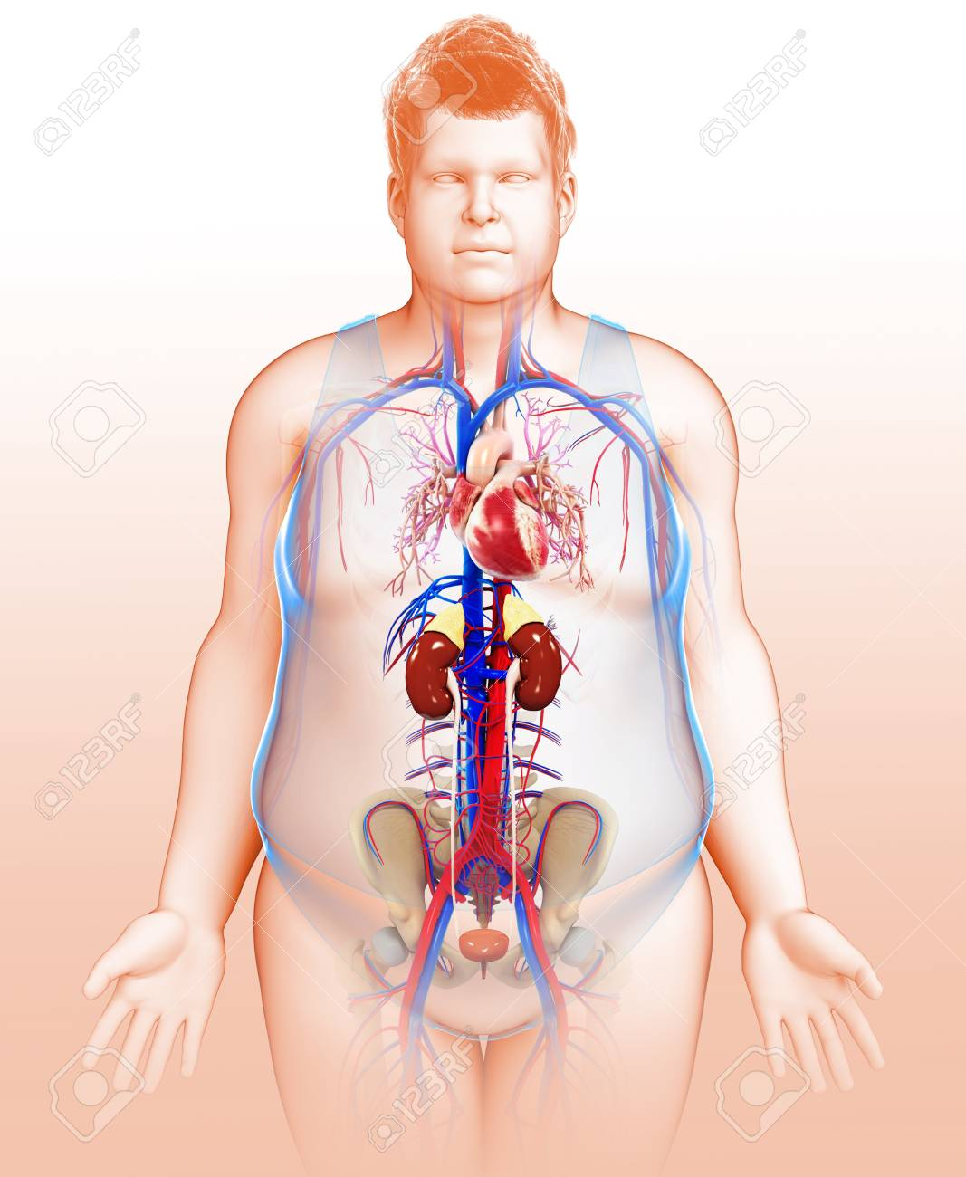 Human Internal Organs, Illustration Stock Photo, Picture And Royalty ...