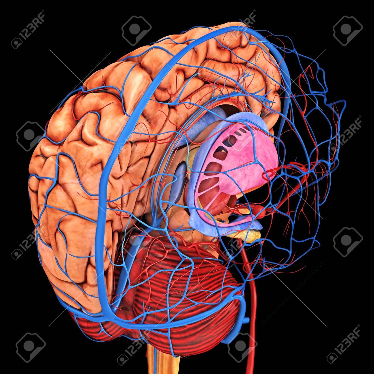 Suministro De Sangre Del Cerebro, Ilustraciones Fotos, Retratos ...