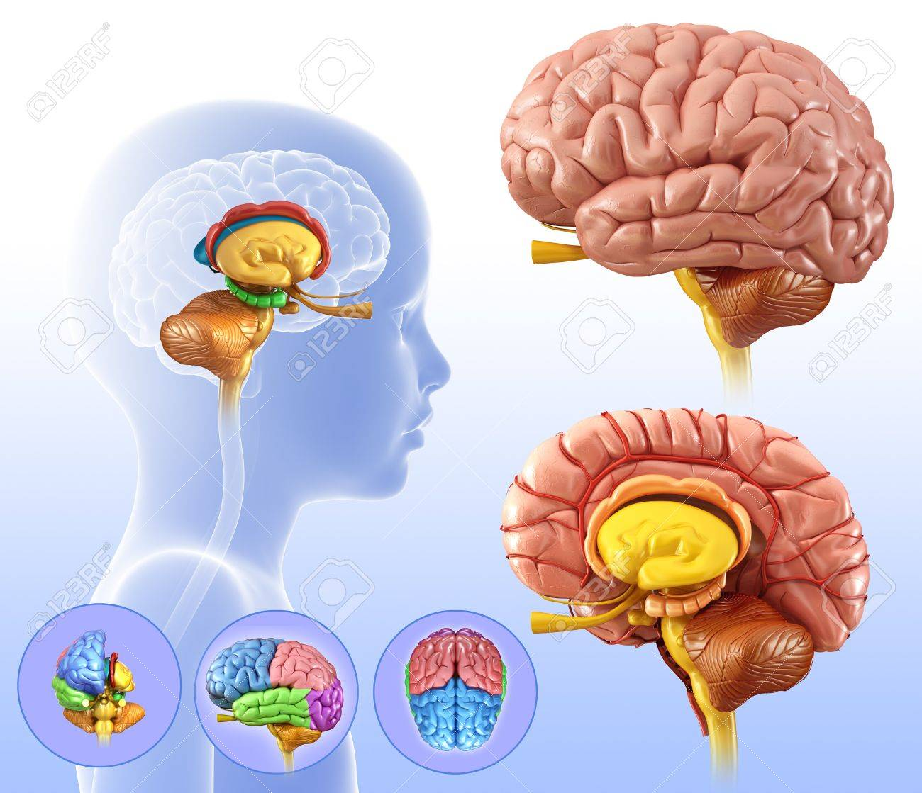Childs Brain Structures Illustration Stock Photo Picture And
