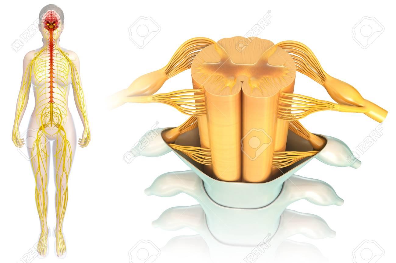 Anatomía De La Médula Espinal, Ilustración Fotos, Retratos, Imágenes ...