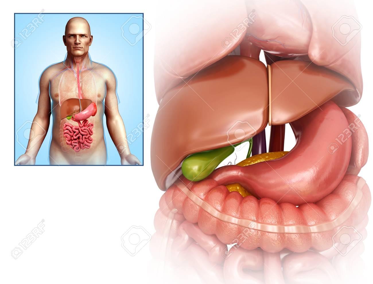 Anatomía Del Hígado Y Del Estómago, Ilustración Fotos, Retratos ...