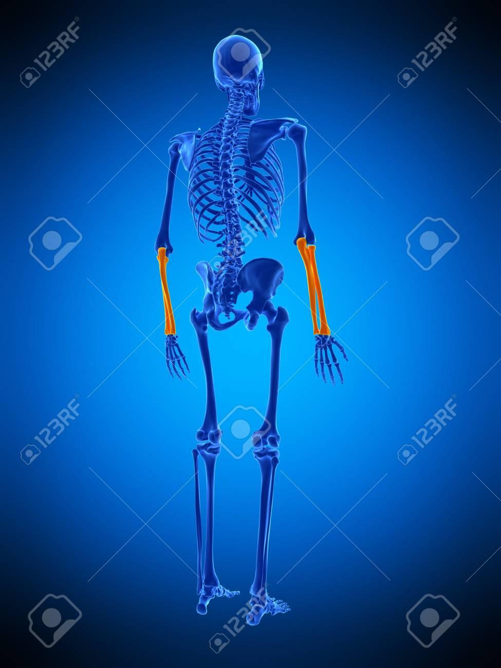 Encantador Huesos Anatomía Back Foto - Anatomía de Las Imágenesdel ...