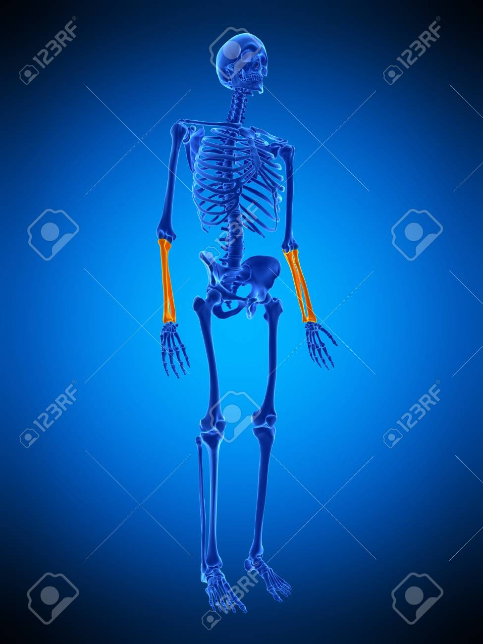 Lower Arm Bones Illustration Stock Photo Picture And Royalty Free