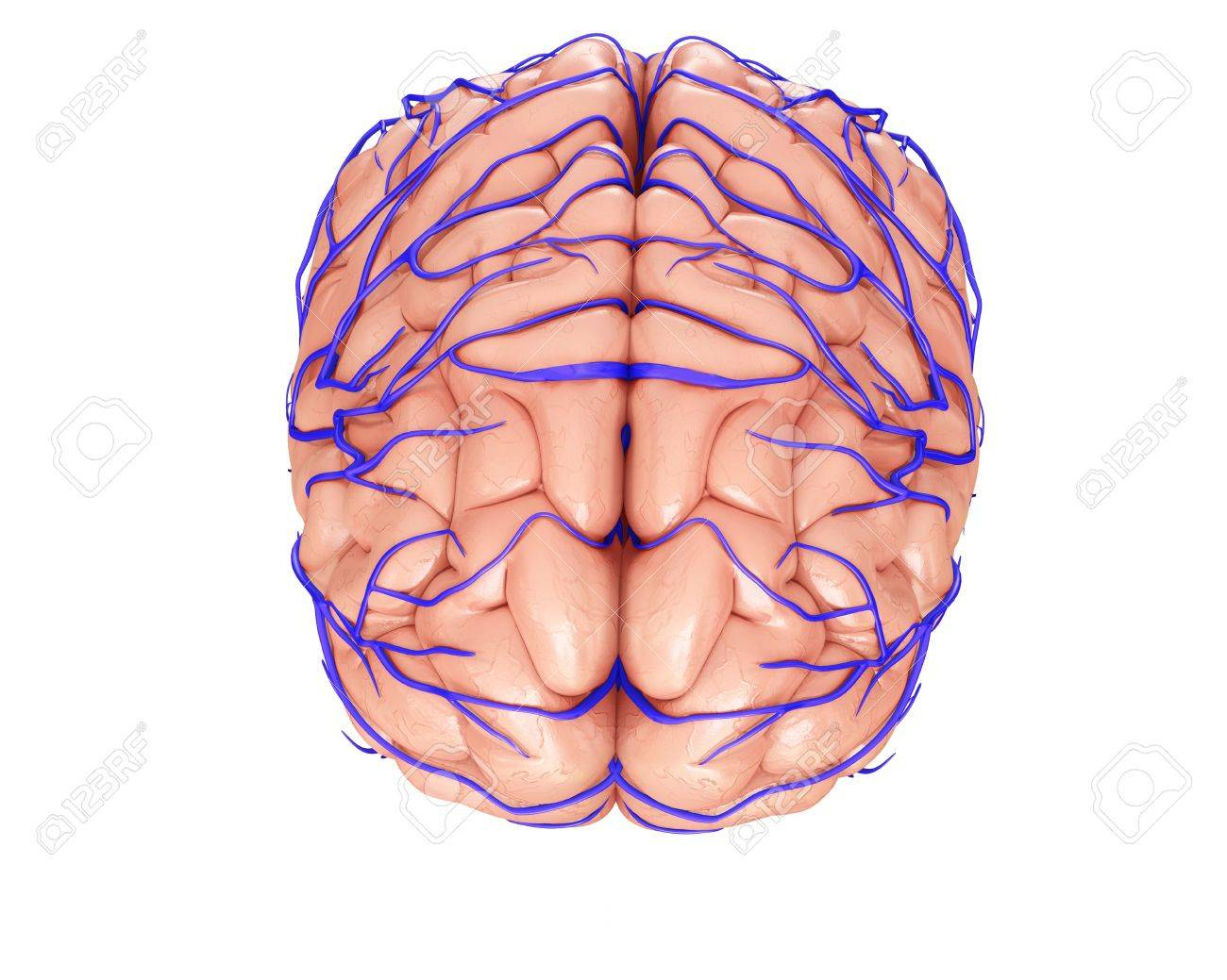 Brain Veins And Anatomy, Illustration Stock Photo, Picture And ...