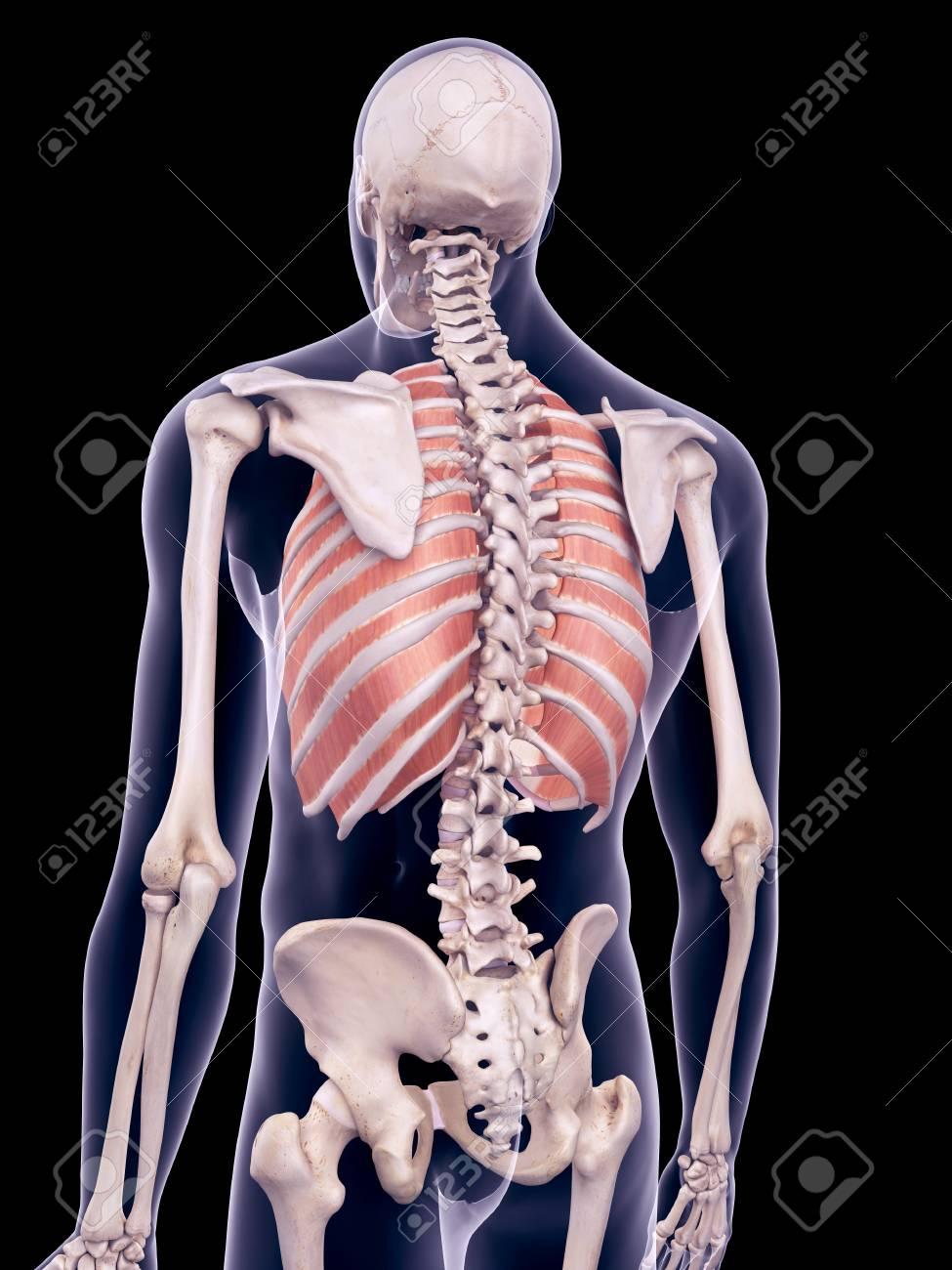 Contemporáneo Diagrama De Los Músculos Del Pecho Cresta - Anatomía ...