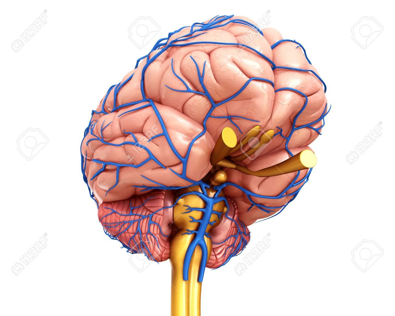 Ilustración De La Anatomía Del Cerebro Humano Y Sus Venas Fotos ...