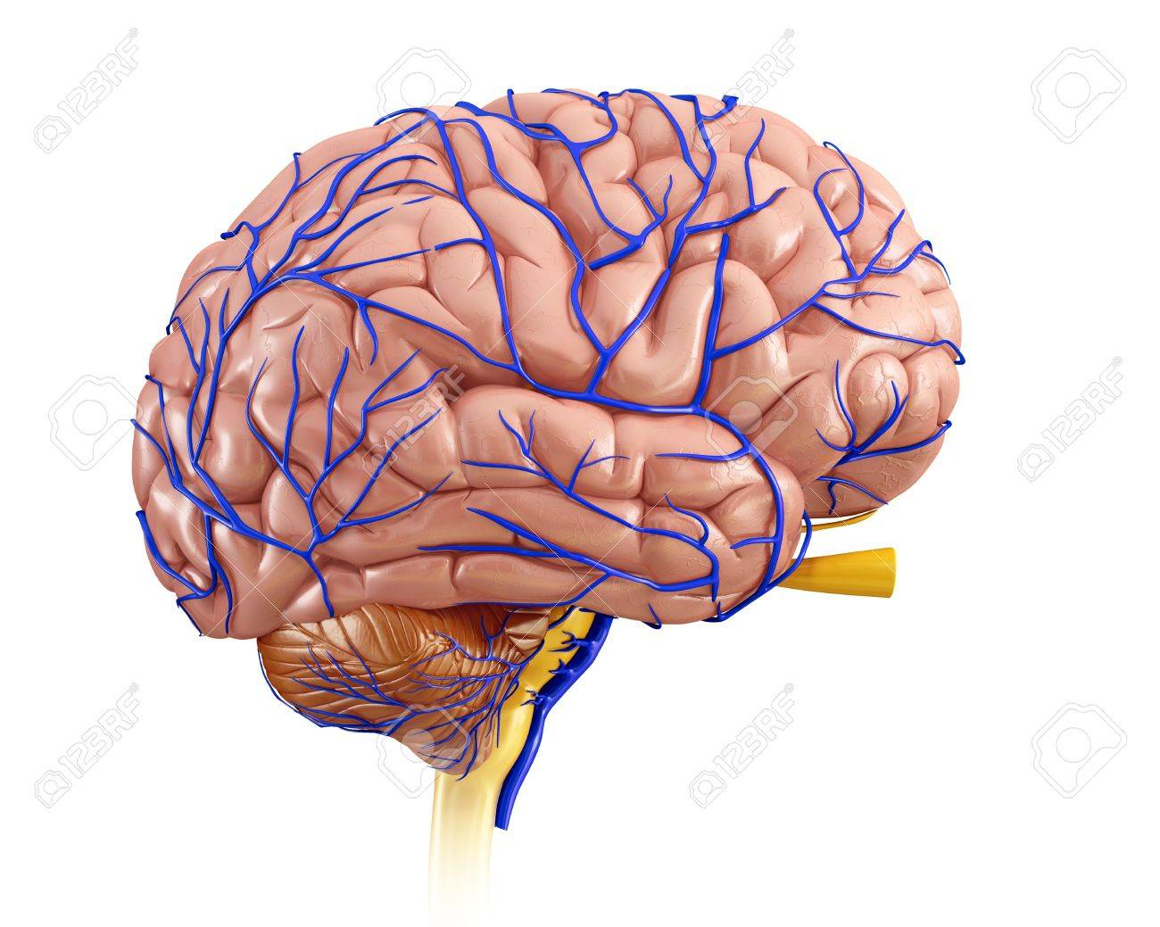 Illustration Of The Anatomy Of The Human Brain And Its Veins Stock ...