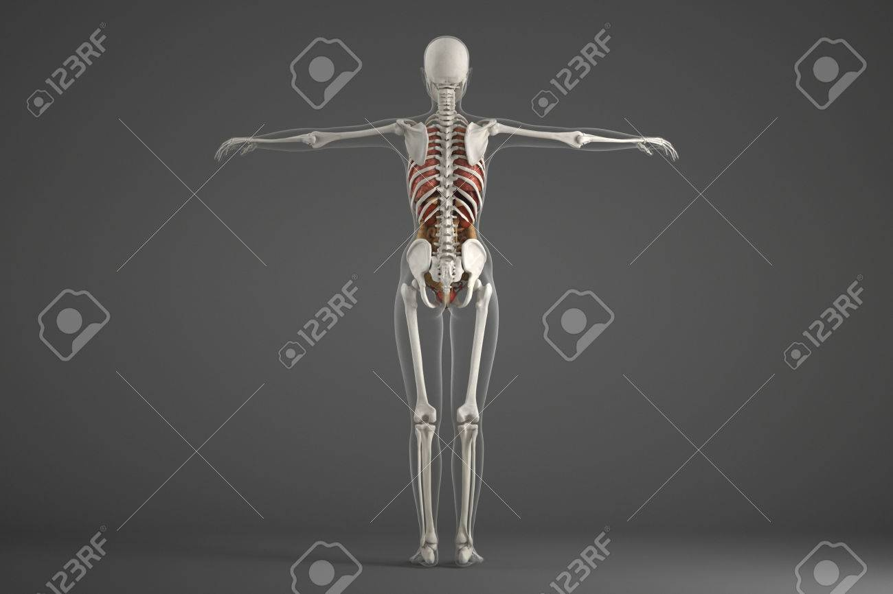 Human Skeletal Structure Stock Photo Picture And Royalty Free Image