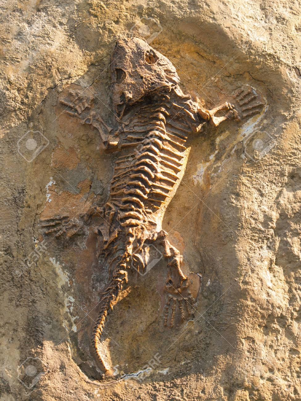 シームリア Baylorensis - 化石のペルム紀初期の泉州キャスト の写真 ...
