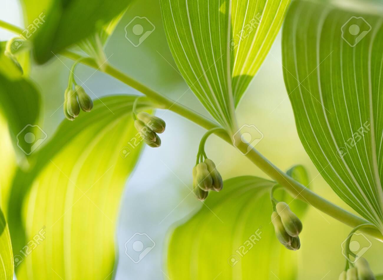 Polygonatum multiflorum fresh green spring flowers - 146418902