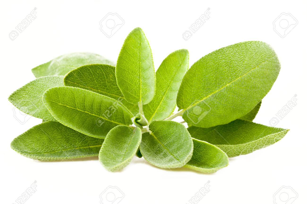 Bunch of sage isolated on white Stock Photo - 9855594