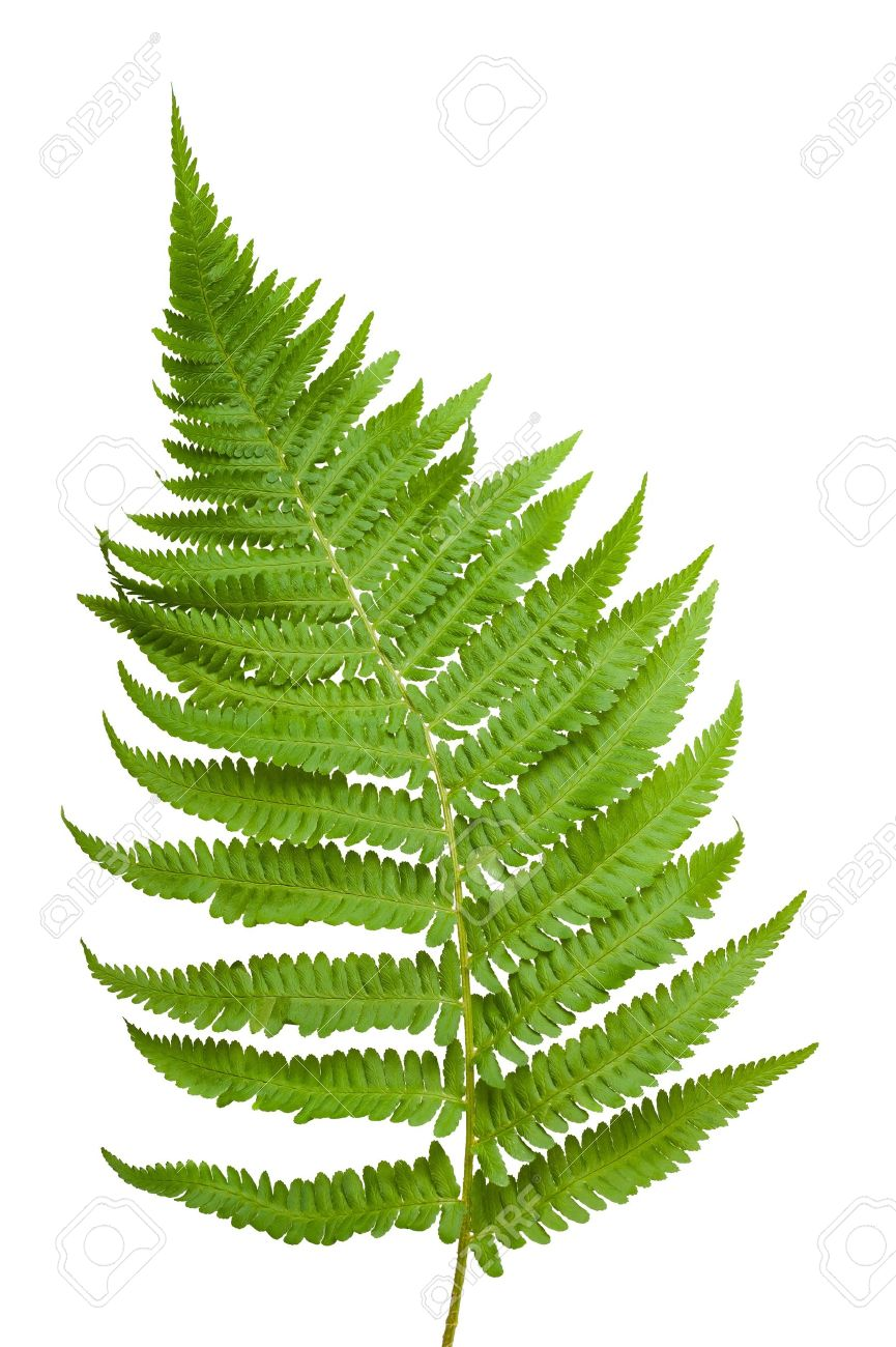 Ferns Branch Isolated On White Stock Photo Picture And Royalty