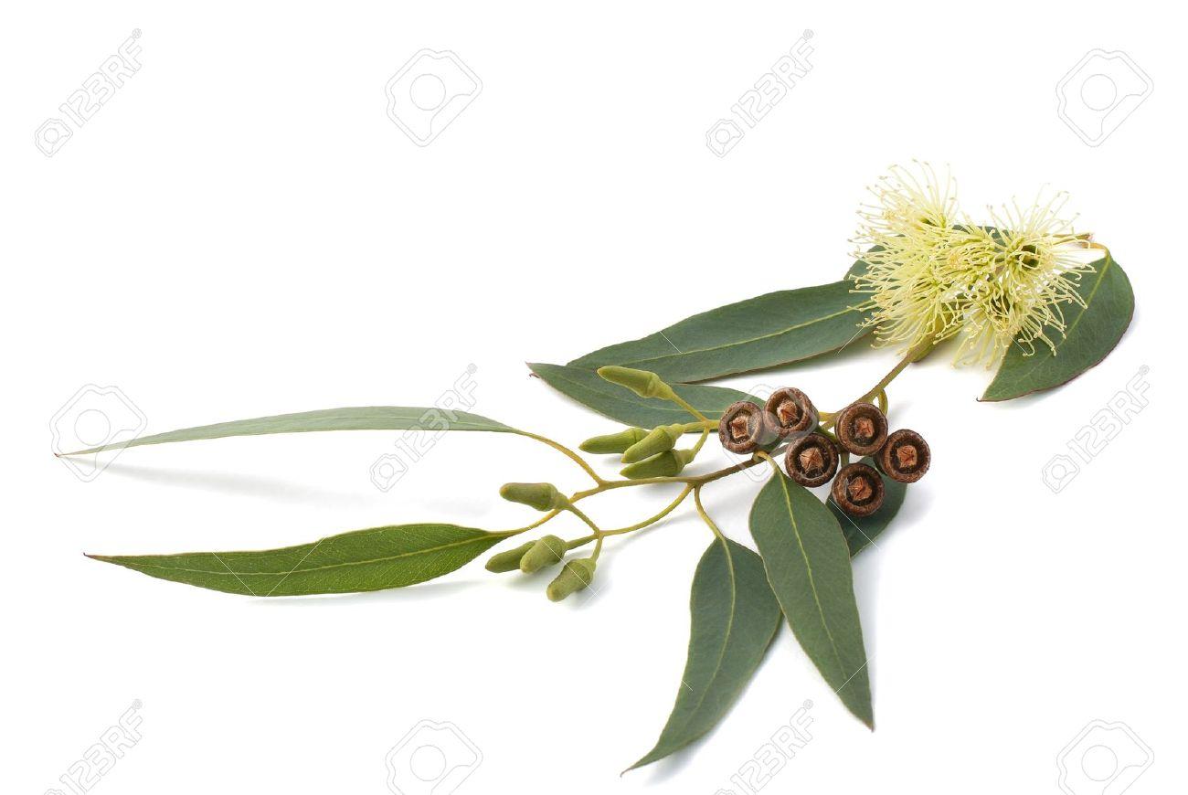 branche d'eucalyptus isolé sur blanc banque d'images et photos