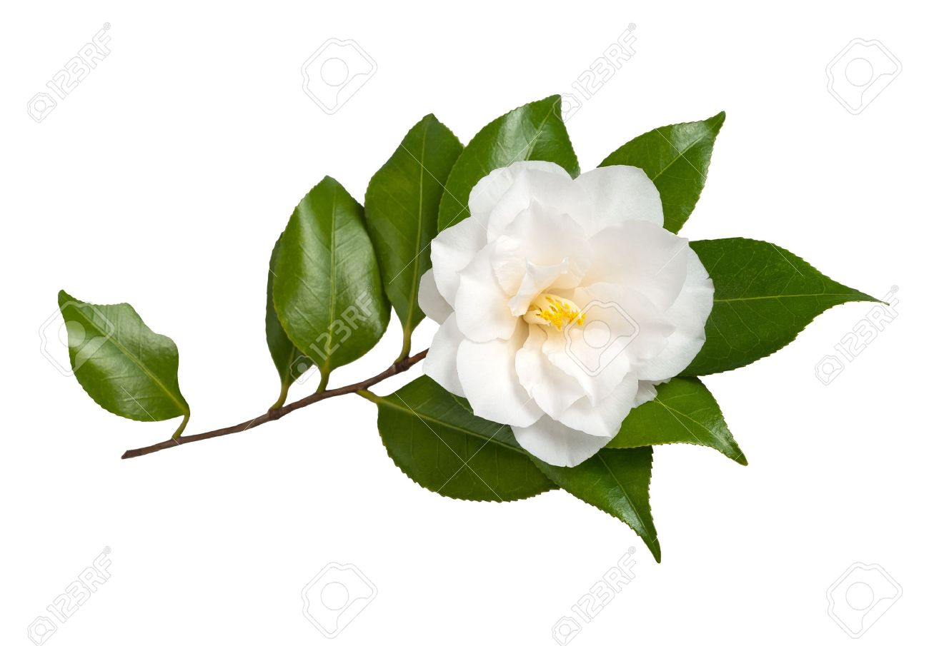 White flower isolated on white background camellia stock photo stock photo white flower isolated on white background camellia mightylinksfo