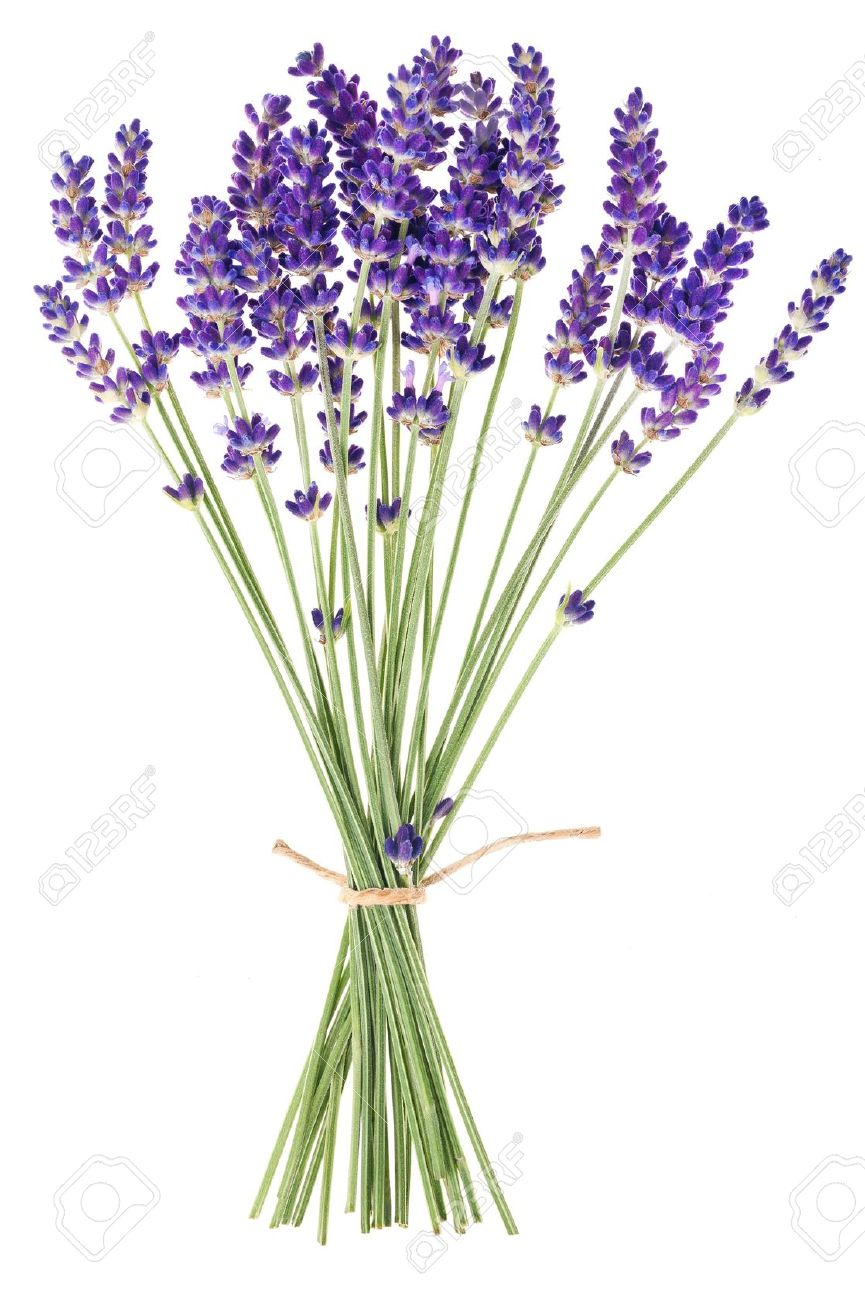 Lavender Flowers On White Background Stock Photo Picture And