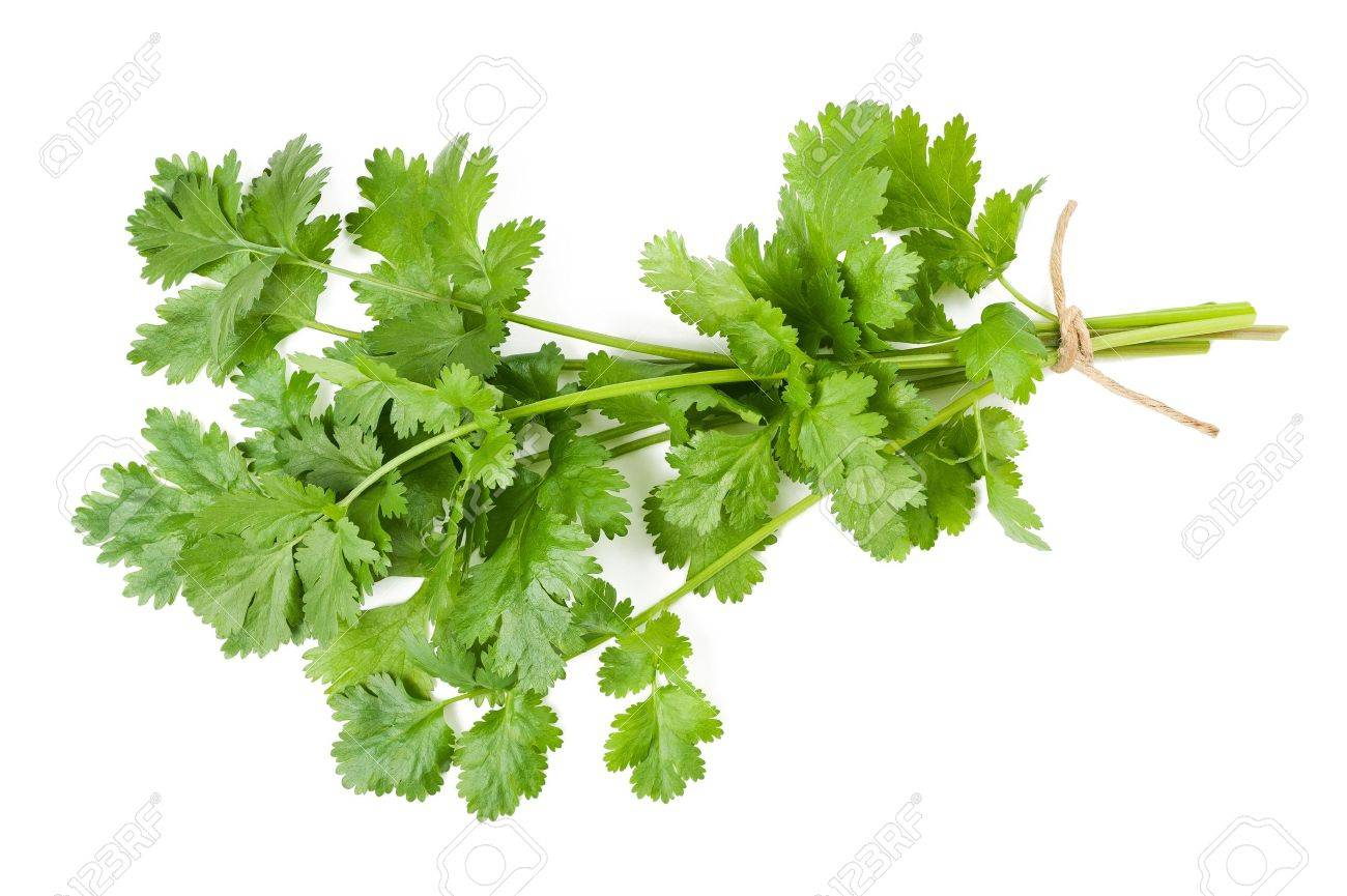 Coriander bunch isolated on white - 21260628