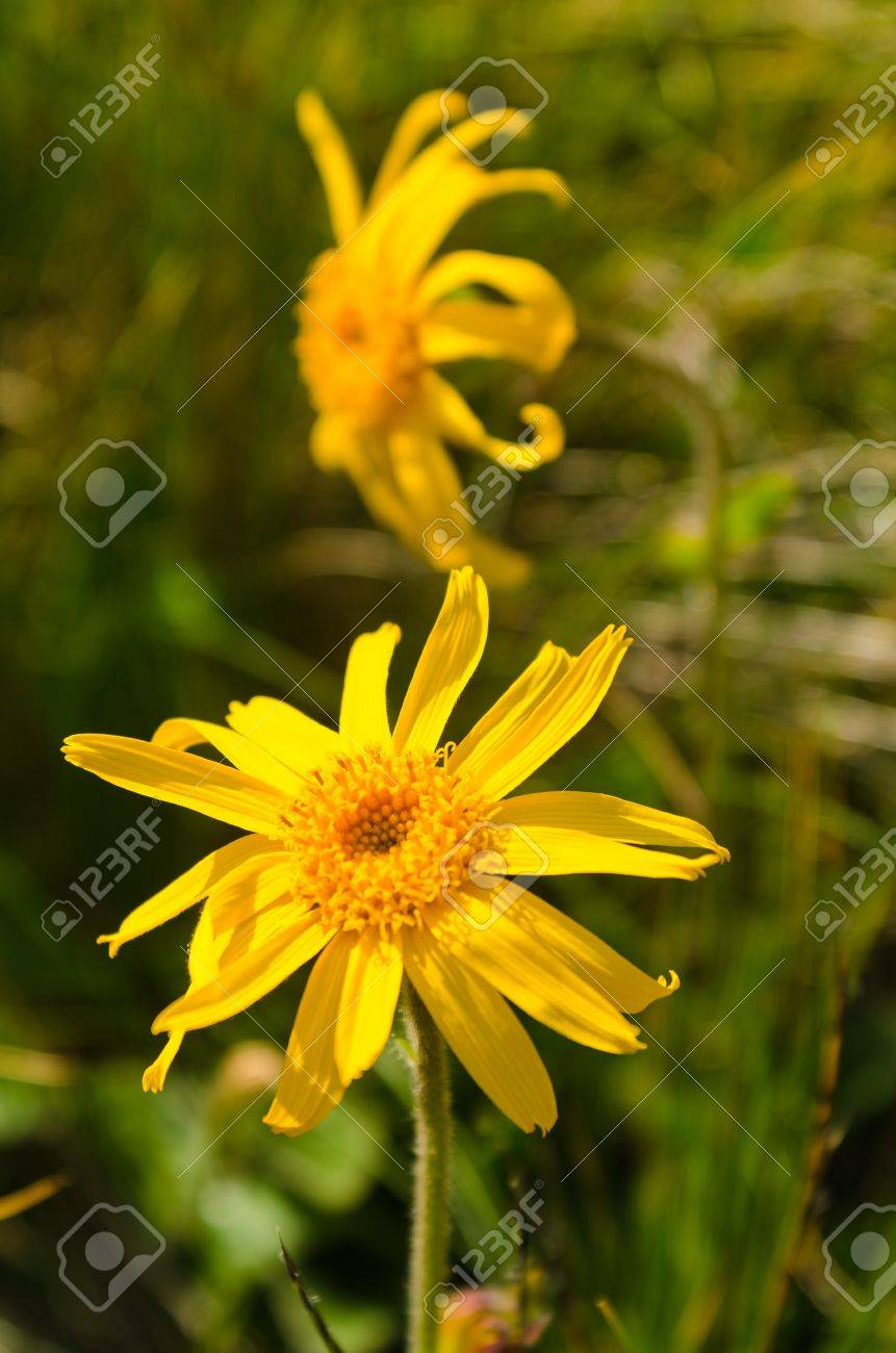 Yellow Mountain Flower Choice Image Fresh Lotus Flowers