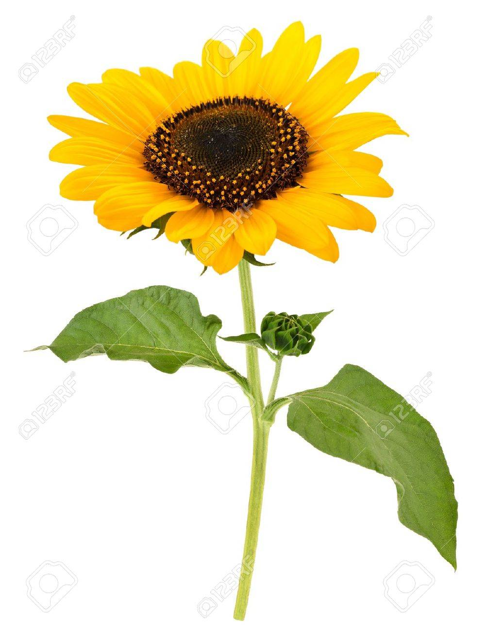 sunflower Stock Photo - 21829972