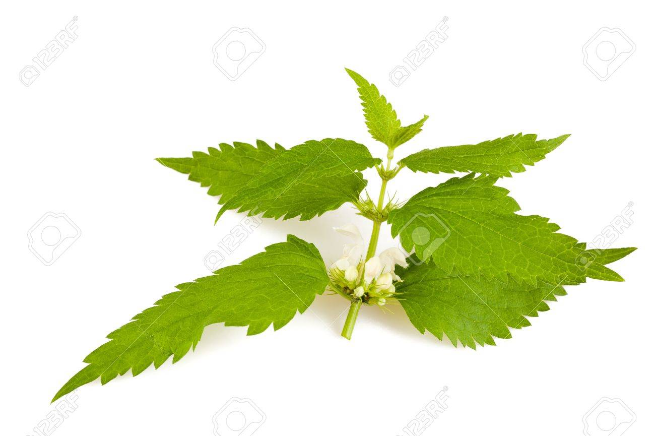 Nettles with flowers isolated on white Stock Photo - 21830004