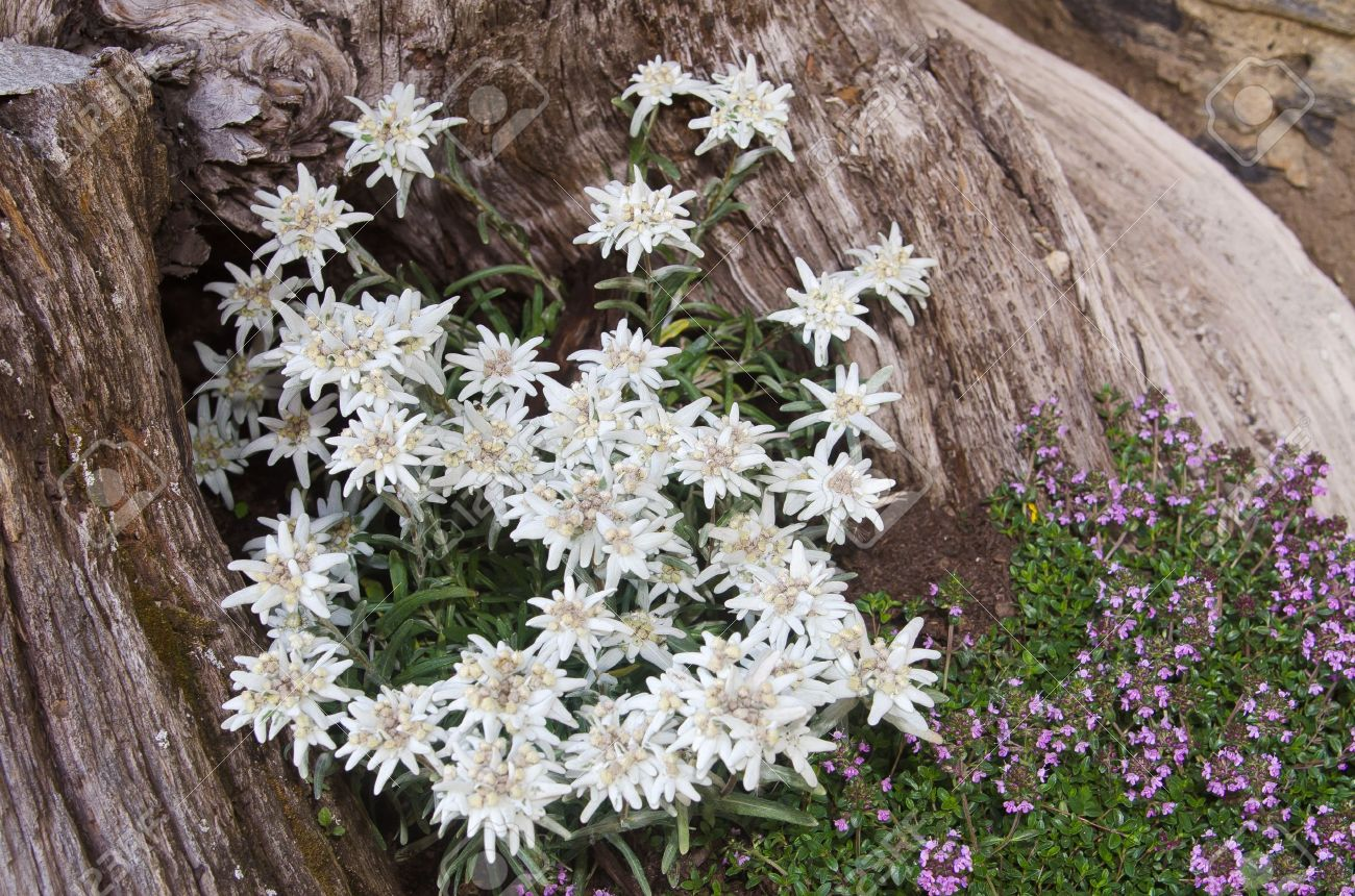 Celebre Fleur Edelweiss Leontopodium Alpinum Symbole De Alpes