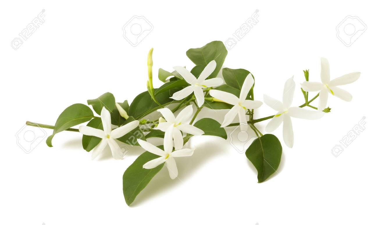 Jasmine Flower Buds Stock Photos Royalty Free Jasmine Flower Buds