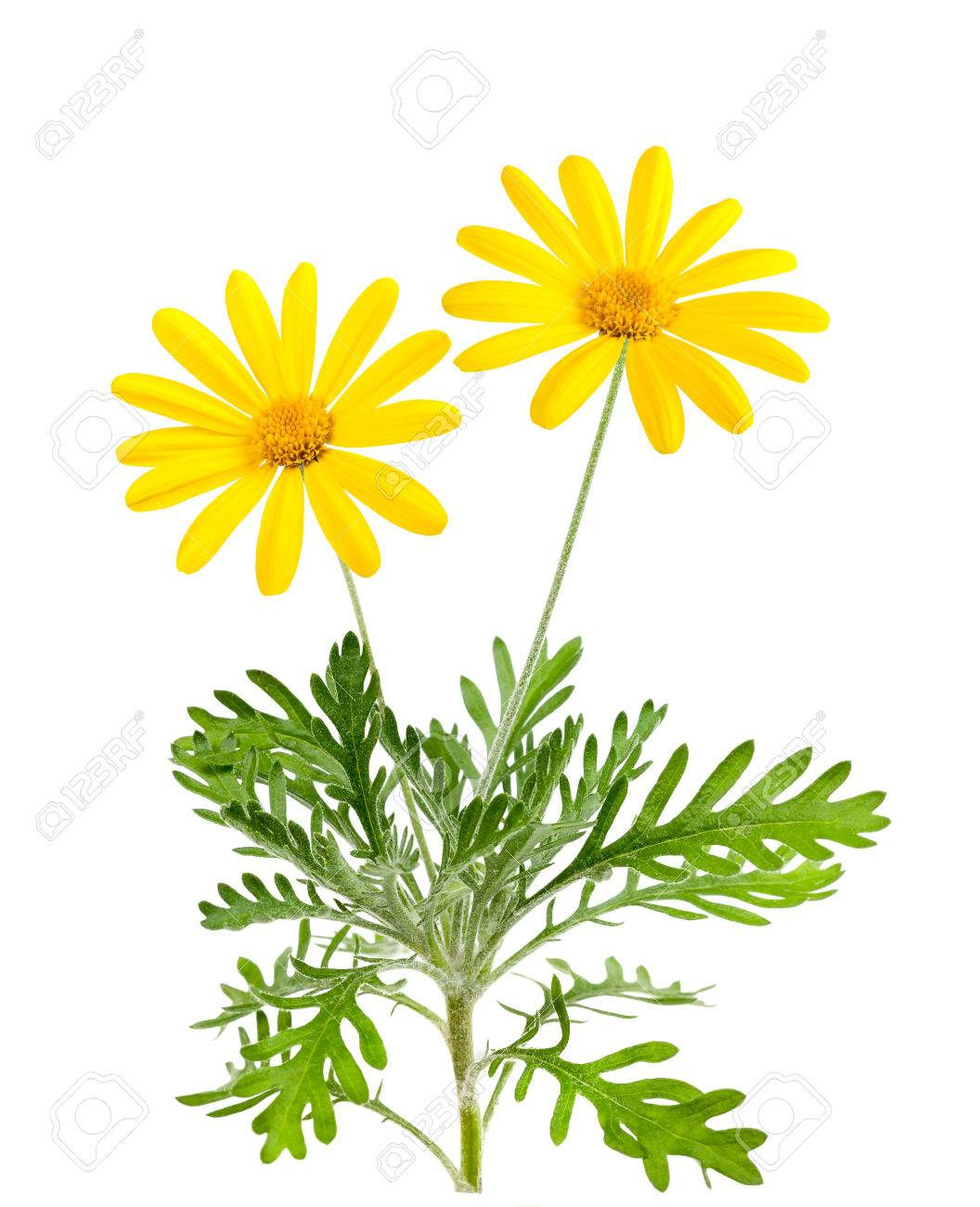 Yellow Daisies Flowers Isolated On White Background Stock Photo