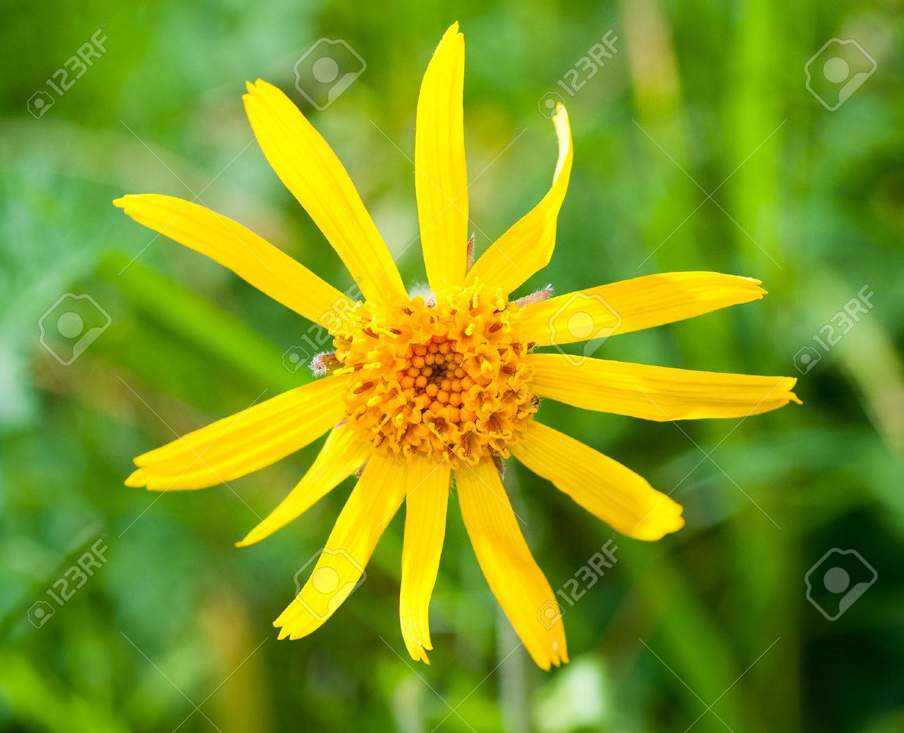 Arnica Montana Yellow Mountain Flower Stock Photo Picture And