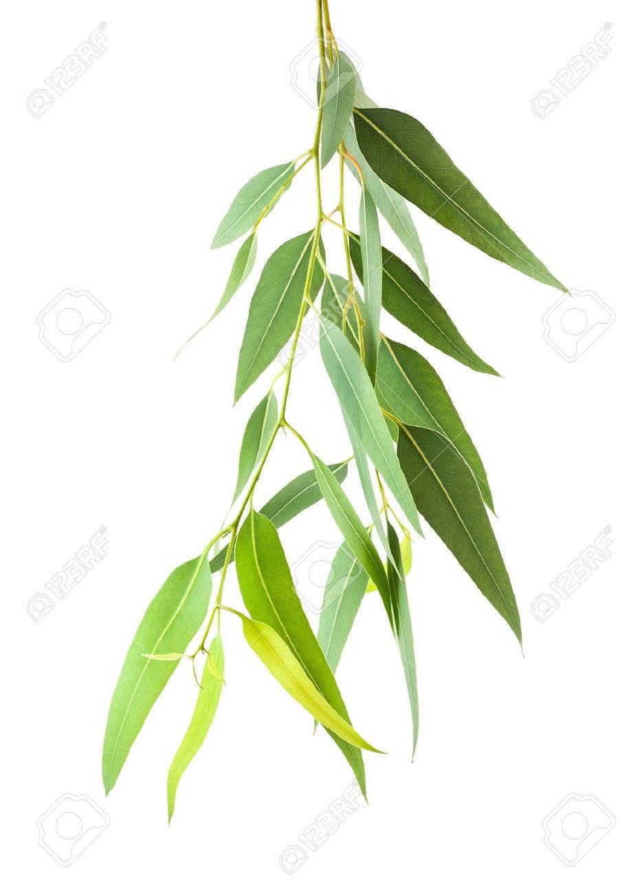 branche d'eucalyptus isolé sur fond blanc banque d'images et photos