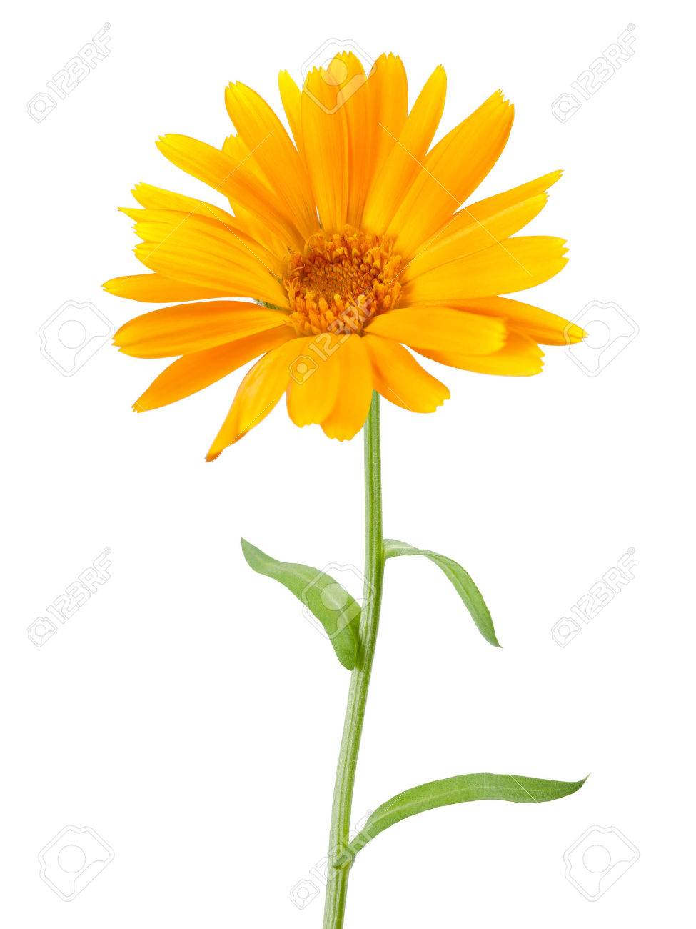 Calendula marigold flower with leaves isolated on white stock photo marigold flower with leaves isolated on white stock photo 35959542 mightylinksfo