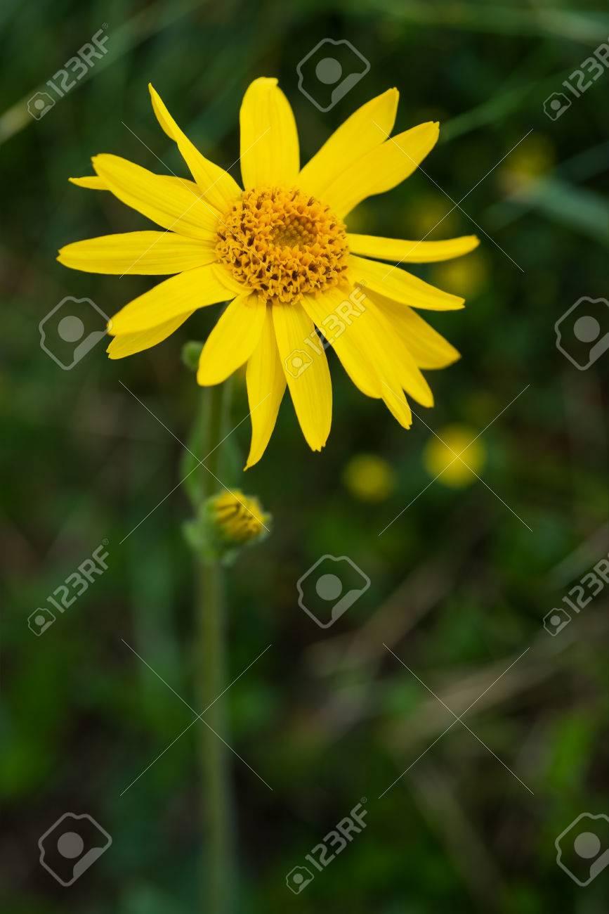 Arnica Montana Flor Amarilla Silvestre De Montana Fotos Retratos