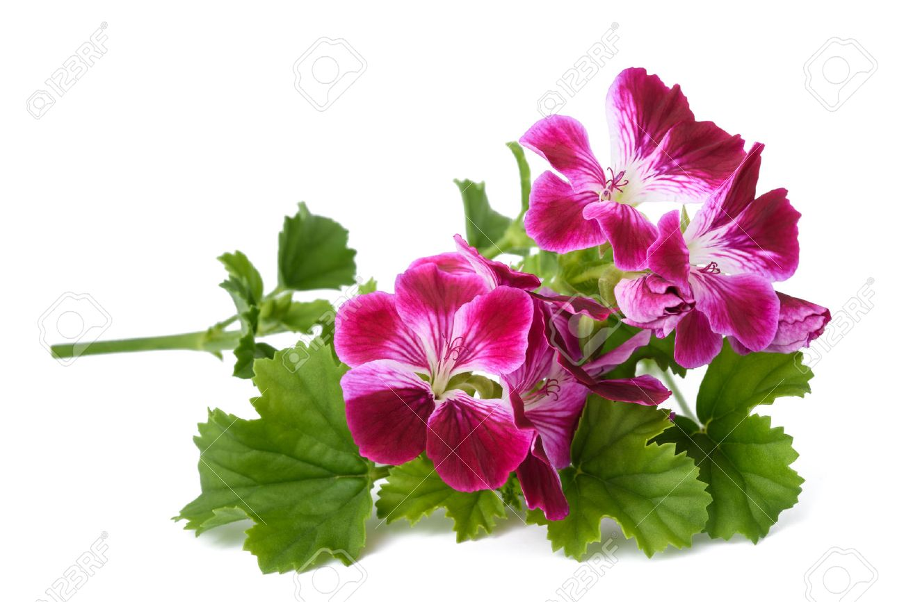 Scented geranium flowers isolated on white background stock photo scented geranium flowers isolated on white background stock photo 80507803 mightylinksfo