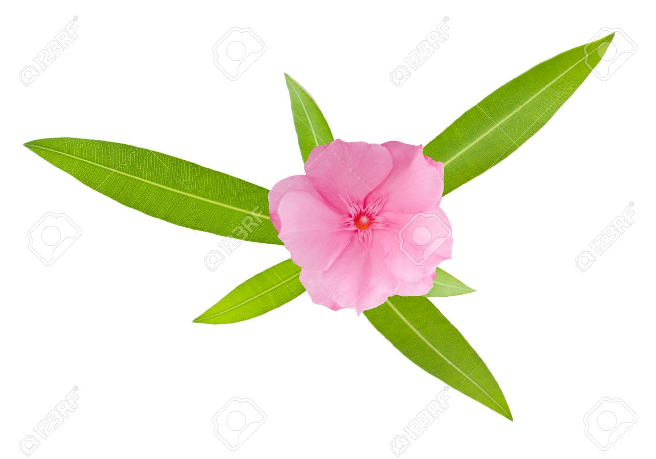 Nerium Oleander Branch With Leaves Isolated On White Stock Photo