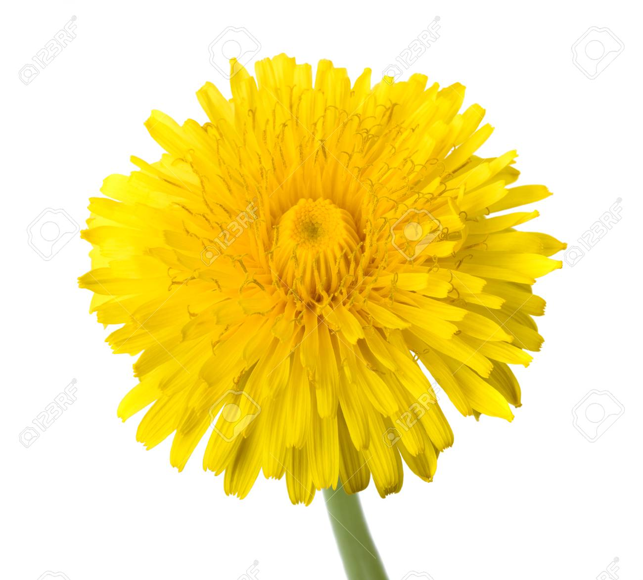 Dandelion flower isolated on white background stock photo picture dandelion flower isolated on white background stock photo 92859796 mightylinksfo