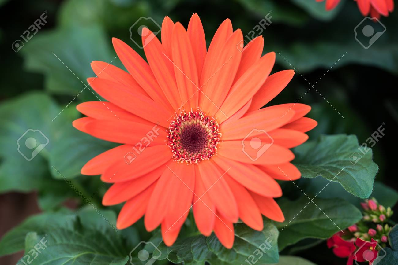 Red Gerbera Daisy Flower With Leaves Stock Photo Picture And
