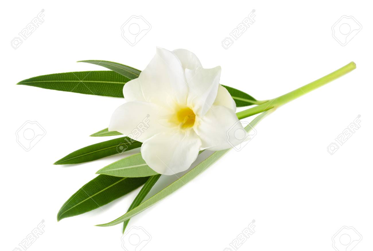 White oleander flower isolated on white background stock photo stock photo white oleander flower isolated on white background mightylinksfo