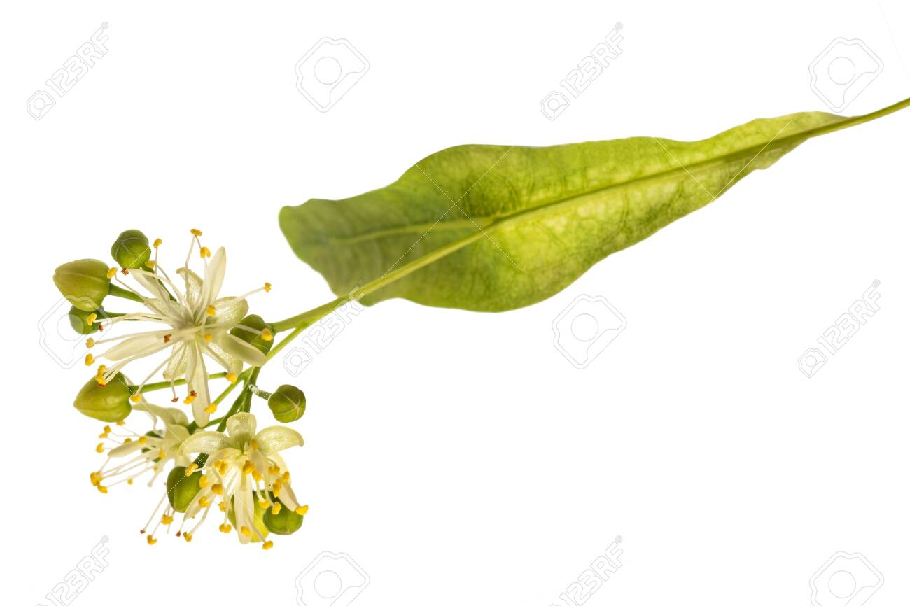 linden bract and flowers isolated on white background - 126079796