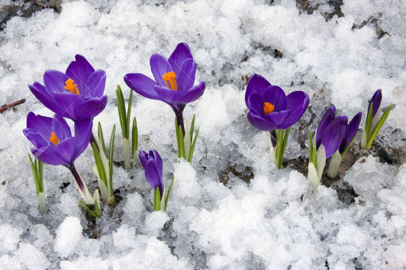 Spring Crocus Flowers Blooming Through The Melting Snow Stock