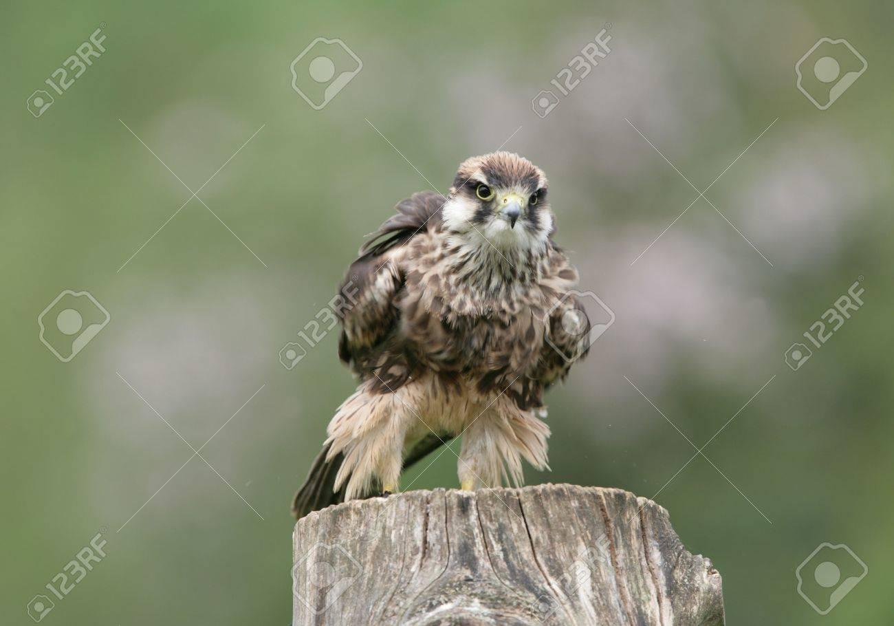 Lanner Falcon preparing for flight Stock Photo - 4656585