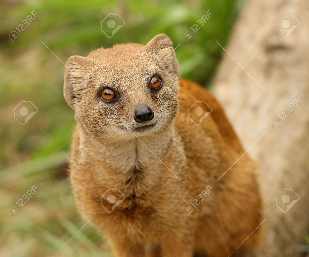 Portrait of a Yellow Mongoose Standard-Bild - 5259968