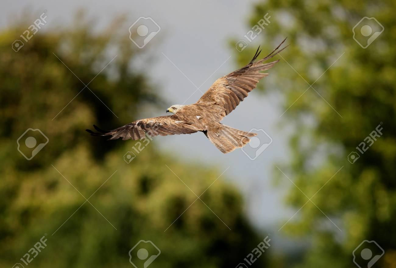 Black Kite in flight Stock Photo - 7857078