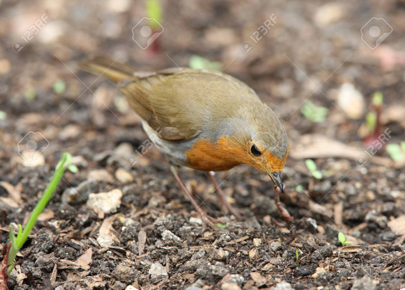 A Robin pulling up a worm Stock Photo - 9432716